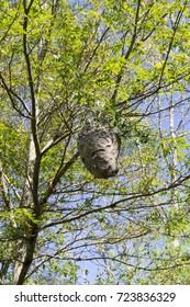 Hornets nest, Wompatuck state park