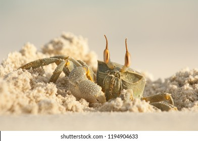 horn-eyed ghost crab, lat. Ocypode ceratophthalma, digging hole in sand of beach, maldives