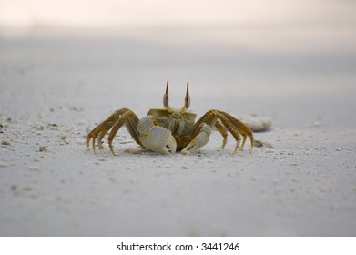 Horn-eyed ghost crab on the sandy beach of tropical island, Vilamendhoo, Maldives