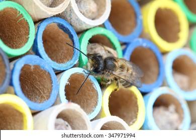 Hornface mason bee, Osmia Cornifrons,  closeup on nesting tubes