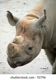 Hornless rhinoceros at the San Francisco Zoo closeup.