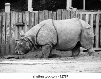 Hornless rhinoceros at the San Francisco Zoo sideview black and white
