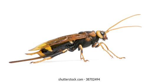 Horntail wasp, Urocerus gigas, in front of white background, studio shot