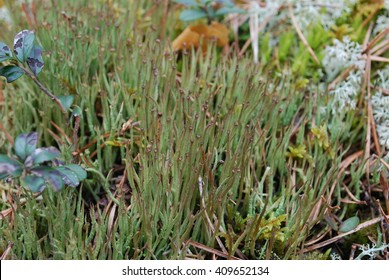 Hornworts are a group of bryophytes, or non-vascular plants, comprising the division Anthocerotophyta. The common name refers to the elongated horn-like structure, which is the sporophyte.