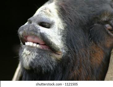 Horny Billy Goat