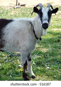 Horny the goat