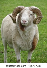Horny ram on the meadow