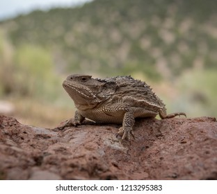 Horny Toad on a Rock
