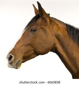 horse (11 years) in front of a white background