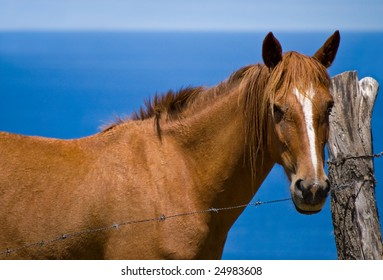 Horse from Azores, Atlantic ocean in the background.