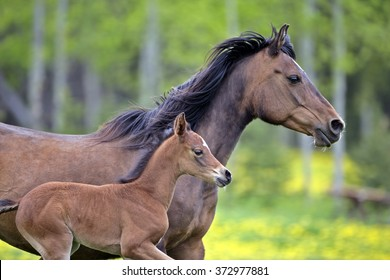 Horse Bay Arabian Mare and filly running together in meadow
