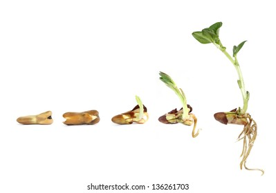 Horse bean - sprouting and growing