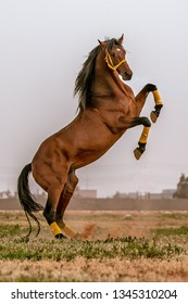 horse ( Benghazi -Libya April 29, 2018)