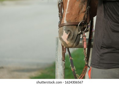 horse with bit, noseband and bridle ready for riding. equestrian and riding concept.