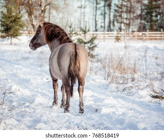 Horse of the breed Polish conic pose for portrait in winter against the background of snow