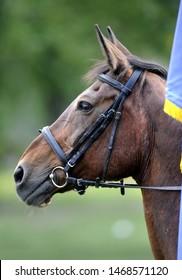 Horse brown head portrait closeup