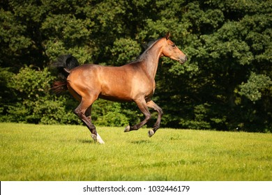 horse brown on the pasture in motion gangue gallop free running.
