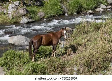 Horse in Caldera river, Boquete ,Chiriqui highlands, Panama, Central America