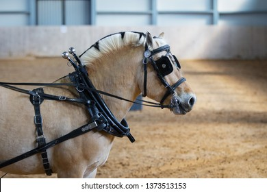 Horse in carriage harness with blinders. Portrait close up