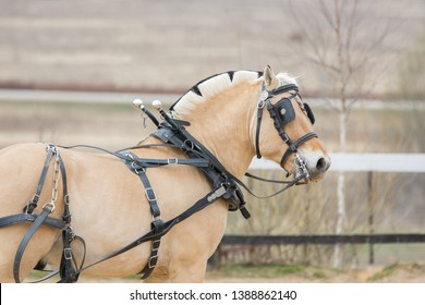 Horse in carriage harness with blinders. Portrait of Norwegian fjord pony close up