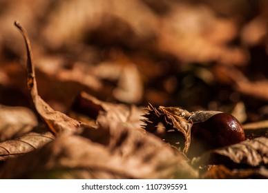 Horse chesnut in dry brown autumn litter close up macro image