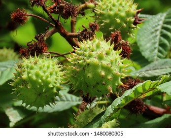 Horse chestnut (Aesculus hippocastanum) maturing spikey shells growing bigger, close up on a sunny summer day