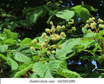 Horse chestnut (Aesculus hippocastanum) small young spikey shells surrounded by green leaves, close up on a sunny summer day