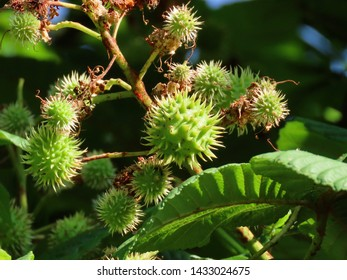 Horse chestnut (Aesculus hippocastanum) young spikey shells growing bigger, close up on a sunny summer day