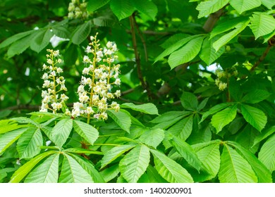 Horse chestnut bloom in spring, white candle cones in green tree foliage. Landscape design park decor. Flowers of chestnut tree. Chestnut leaves and flowers, garden decoration