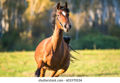 Horse chestnut galloping in horse farm front view