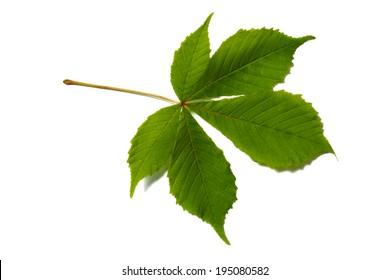 Horse Chestnut Leaf Images Stock Photos Vectors Shutterstock
