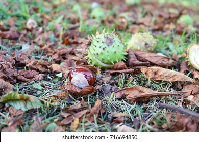 Horse chestnut shell case and conker lying on autumn leaves photographed from ground level