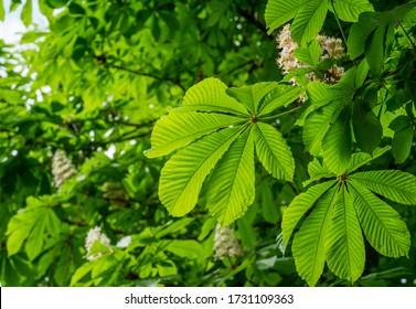 Rosskastanienbaum (Aesculus hippocastanum, Conker-Baum) mit blühenden Blumen. Weiße Kerzen mit blühender Rosskastanie vor verschwommenem Hintergrund. Frühjahrskonzept für natürliches Design