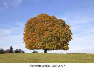 Horse chestnut tree (Aesculus hippocastanum) Conker tree in autumn, Lengerich, North Rhine-Westphalia, Germany, Europe