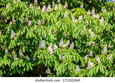 Horse Chestnut Tree with Candles