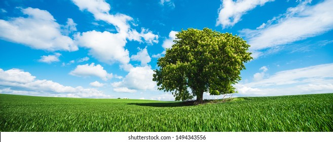 Horse Chestnut Tree in Full Bloom, Green Field in Spring Landscape under Blue Sky, panorama