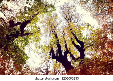 Horse chestnut trees in autumn with colorful leaves. Nature background.