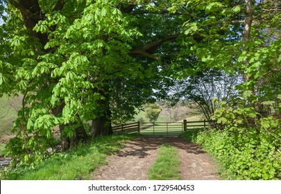 Horse Chestnut trees and farm gate, rural Herefordshire, England