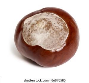 horse chestnut in white back