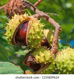 Horse Chestnuts in autumn