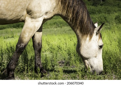 Horse Chewing On Green Pasture