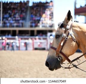 Horse closeup at outdoor rodeo