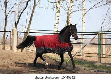 Horse in coat running in the paddock