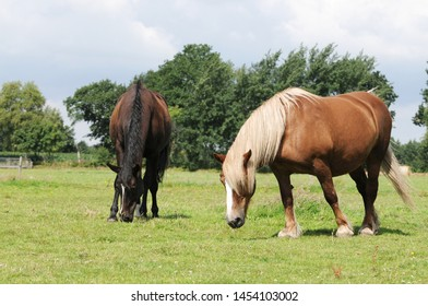 Horse and cold blooded horse standing on pasture and grazing