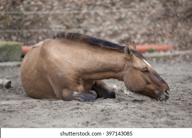 Horse with colic lay down and sleep outside