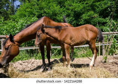 horse and colt in a farm in Liguria in Italy