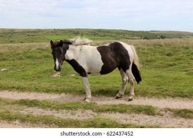 horse in dartmoor national park