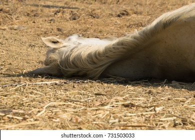 Horse dead on the ground out of heat and lack of water. Close up view on horses back.