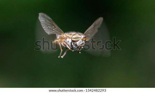 Horse or Deer Fly Family Tabanidae