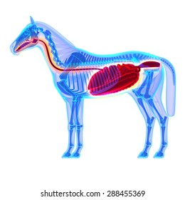 Horse Digestive System Anatomy - isolated on white